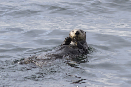Sea otter that sails along the coast on the back of an autumn day Stock Photo