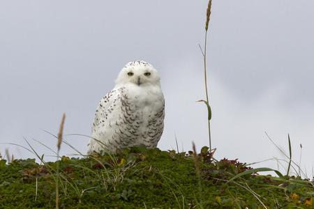 hummock: snowy owl is sitting on a hummock tundra summer day Stock Photo