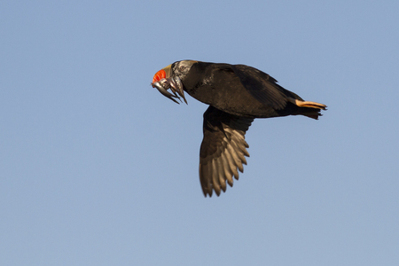 tufted puffin: tufted puffin a transitional dress flying with a fish in its beak summer day