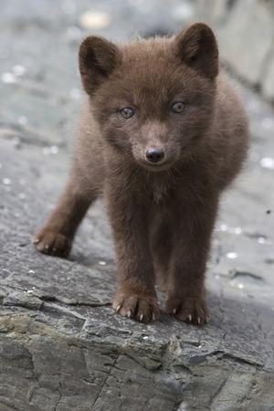 commander: Commander blue fox pup who stands on a cliff sunny summer day
