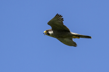 flying female peregrine falcon nest at summer sunny day