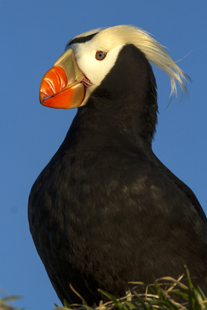 tufted puffin: portrait of puffins in the setting sun on a summer evening