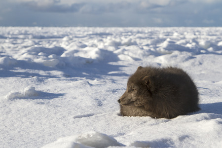 ice floes: Commanders blue arctic fox that lies on the beach on a background of ice floes sunny winter day