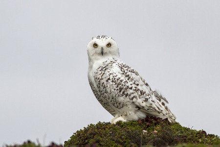 snowy owl: snowy owl is sitting on a hummock tundra cloudy day Stock Photo