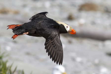 tufted puffin: tufted puffin  Flying over the coast of the island
