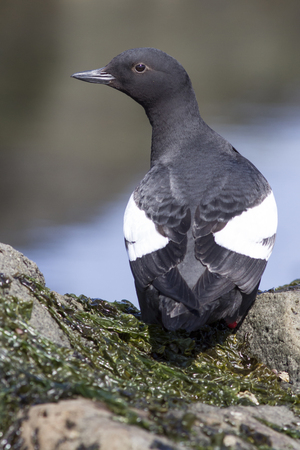commander: Commander pigeon guillemot that is sitting on a rock with his back