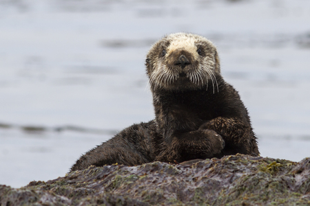sea otter: Sea otter sitting on a rock on the shore of the island