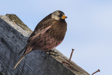 rosy: gray-crowned rosy finch sitting on the roof of the old wooden building on the Commander Islands winter sunny day Stock Photo