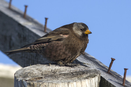 commander: gray-crowned rosy finch sitting on the roof of the old wooden building on the Commander Islands winter sunny day Stock Photo
