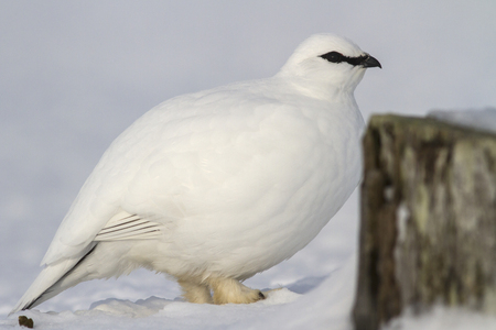 commander: portrait of a male Commander ptarmigan near the snow-covered stone