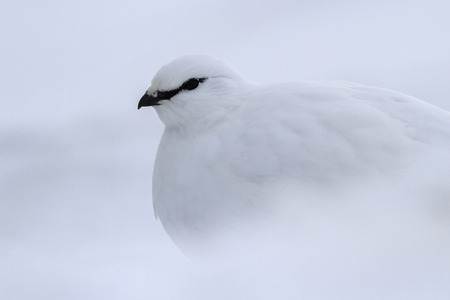 commander: portrait of a male Commander ptarmigan in winter plumage cloudy winter day Stock Photo