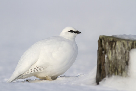 commander: Commander male ptarmigan near the snow-covered stone