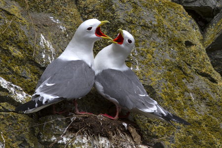 flashy: red-legged kittiwake pair sitting near the nest and flashy