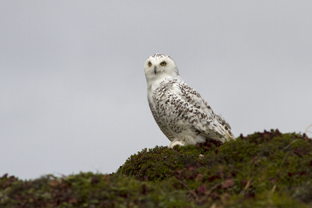 snowy owl: Snowy Owl sitting on a hillside in the tundra cloudy day