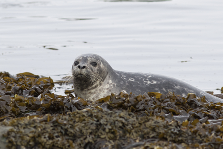 spring tide: young Harbor seal that climbs on the rocks at low tide in spring Stock Photo
