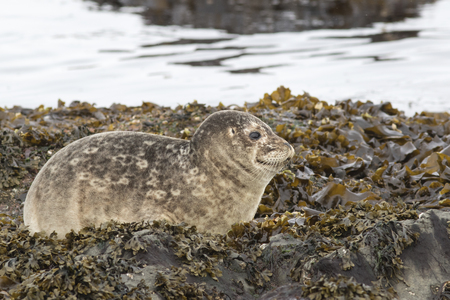 spring tide: young Harbor seal that rests on the rocks at low tide in spring Stock Photo