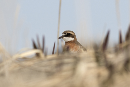 lesser: female LESSER SAND PLOVER peeping from behind a sand dune Stock Photo