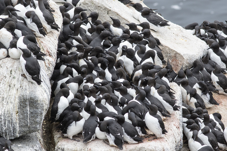 pacific islands: common murre colony on a rocky shelf of the Pacific Islands Stock Photo