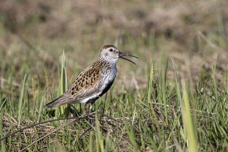 singing male Dunlin in the marshy tundra Bering Island