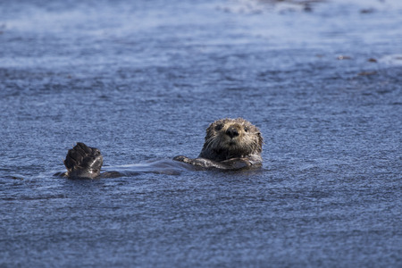 sea otter floating on its back a summer sunny day
