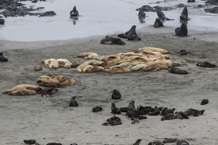 rookery of Steller sea lions and northern fur seals on the beach Bering Island Stock Photo