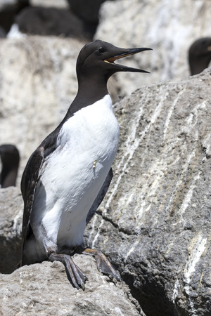 common murre is sitting on a rock with an open beak Stock Photo