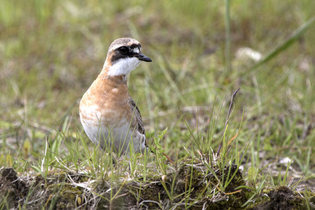 Lesser Sand Plover standing on the tundra summer day Stock Photo