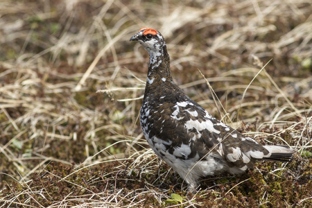 male Rock ptarmigan in a summer dress on a background of yellowed autumn tundra Stock Photo