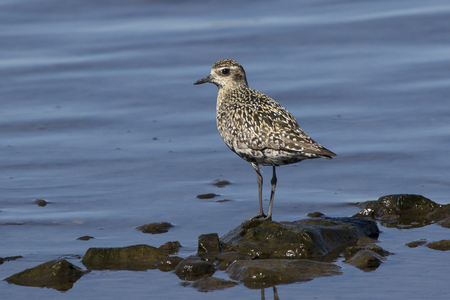 Pacific Golden Plover in autumn plumage on the shore