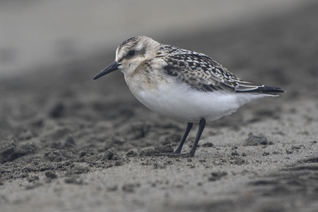 Sanderling in the autumn outfit misty cloudy day Stock Photo