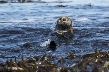 sea otters floating among seaweed near the shore on a sunny day