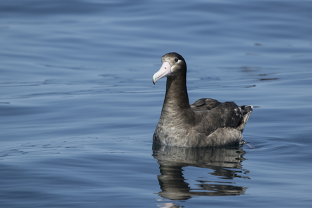 young short-tailed albatross sitting on the water a summer day