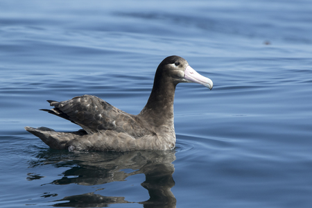 young short-tailed albatross sitting on the water sunny summer day Stock Photo