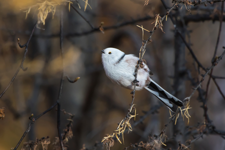 Long-tailed tit is sitting on a tree branch having lifted up the head of the autumn sunny day