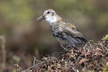 Rock sandpiper which sits on a hummock in the tundra and sings Stock Photo