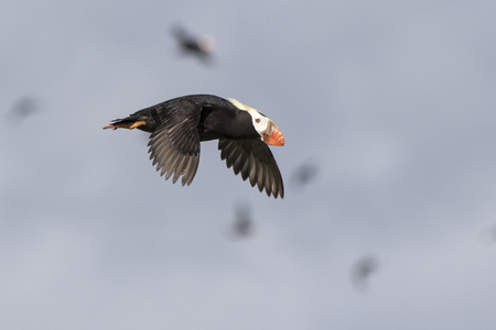 tufted puffin: tufted puffin fly near at the start of a colony summer day