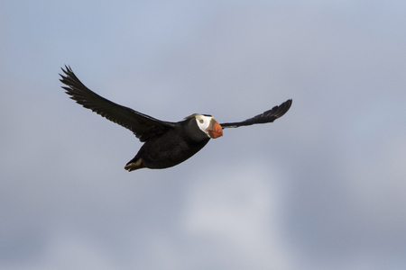 tufted puffin: tufted puffin flying toward a summer day Stock Photo