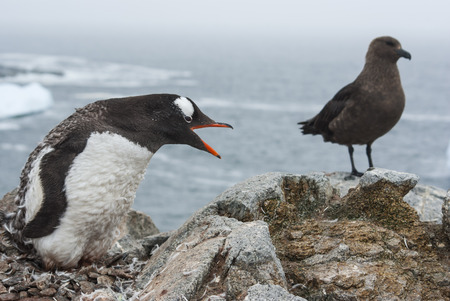 Gentoo penguin moulting nest near the South Polar skua was distilled Stock Photo