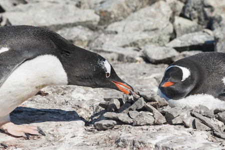 male Gentoo penguin who brought the stone to the nest where the female is sitting Stock Photo