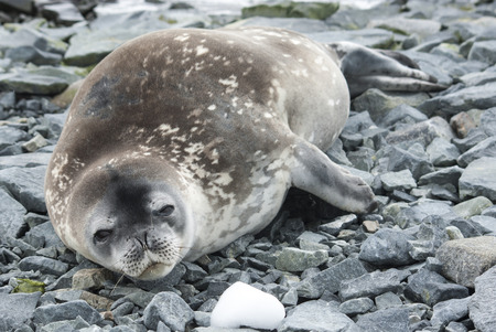 weddell: young Weddell seal resting on the rocks of a small Antarctic island Stock Photo