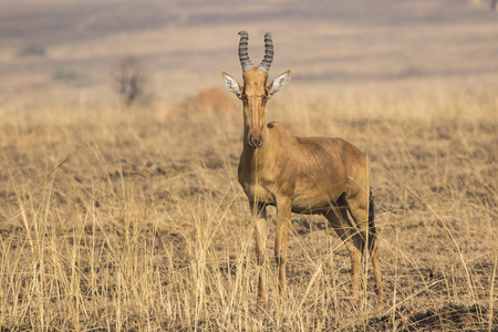 Lelwel Hartebeest which stands in the savannah during the dry season on the background of dried herb Stock Photo
