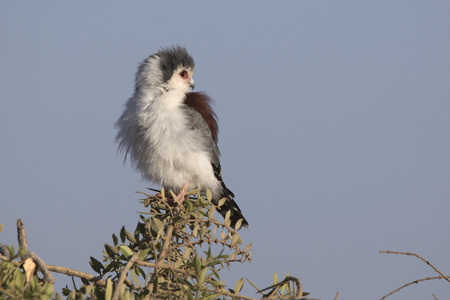 pigmy: Female falcon pigmy sitting on a branch of acacia in the savannah with her head turned back