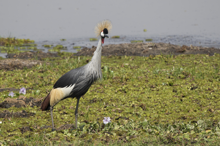 swampy: Crowned crane standing on the swampy shore of Lake Albert Stock Photo