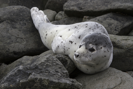 Young spotted seal lying among the stones on the shore of a quiet ocean on a springy cloudy day