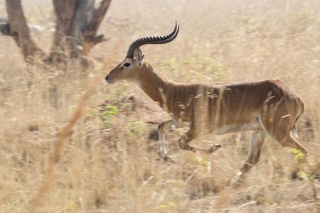 Male antelope kob running amidst high dry grass in Ugandan savannah