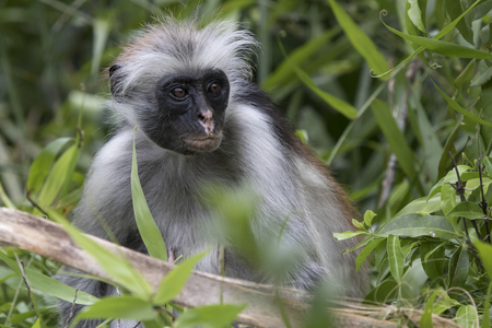 Portrait of a red colobus that sits among branches and grass in a protected forest Stock Photo