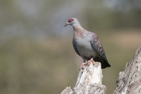 spekled pigeon which sits on a dry branch in a sunny day