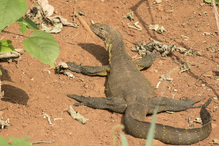 water monitor which lies on the shore of Lake Victoria on a sandy beach