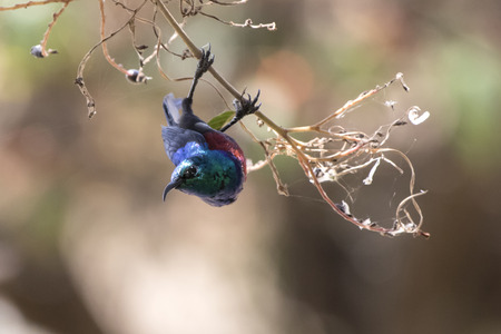 sunbird who hangs on a branch during feeding in the crown of a tree Stock Photo