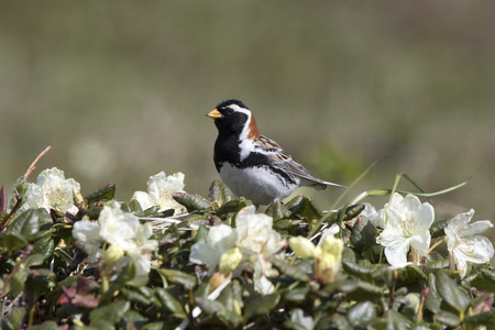 male LAPLAND BUNTING that sits on a flowering Labrador tea bush in the summer tundra